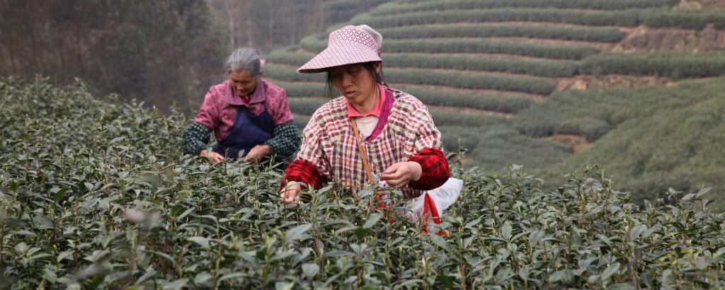 Two tea farmers picking tea