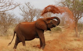 An African elephant throws dirt over its back