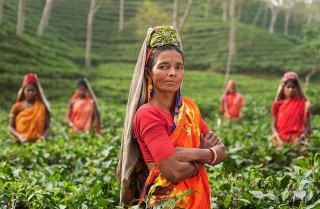 A group of India tea pickers stand in a field of tea plants