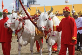 Royal oxen take part in the annual Royal Ploughing ceremony in Bangkok.