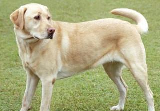A Labrador