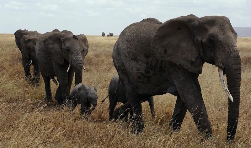 A family of elephants walk through long grass