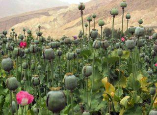 Opium growing in Afghanistan
