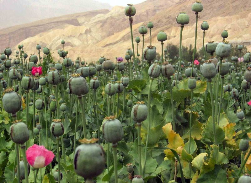 Opium growing in Afghanistan