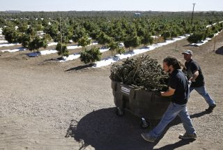 A man transports marijuana at a marijuana farm in Colorado, USA.