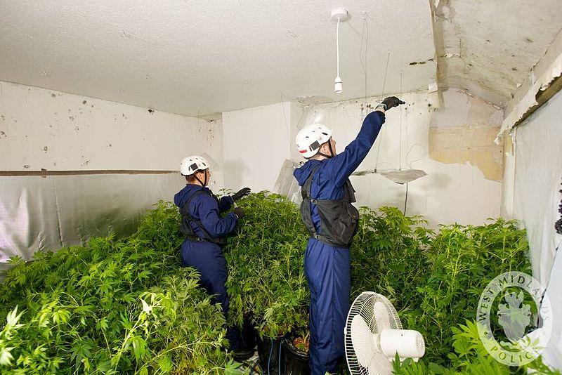 800px-Day_125_-_West_Midlands_Police_-_Cannabis_Disposal_Team_-_Drugs_Warrant_(6995870022)